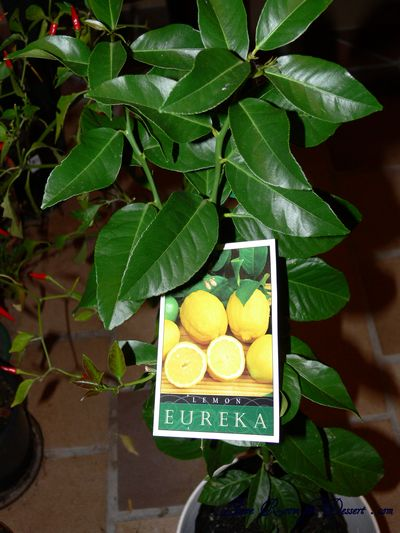Nick's Eureka Lemon Tree